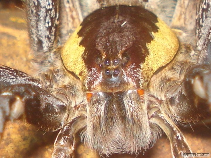 Fishing Spider (Ancylometes Rufus)