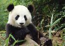 Giant Panda Marks Its Territory